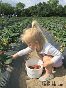 KK Romy strawberries